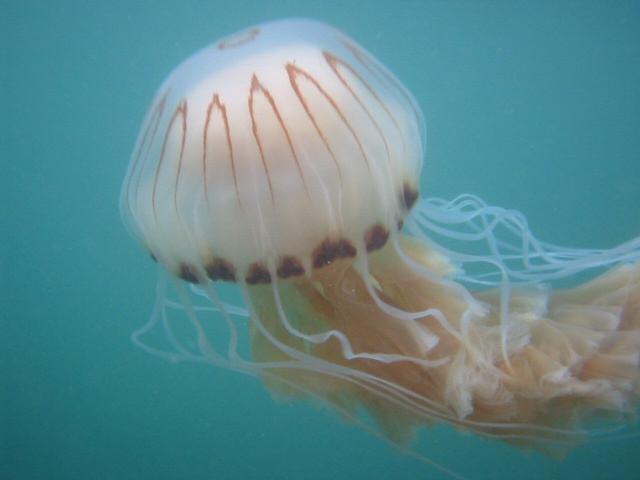 Medusa picadura