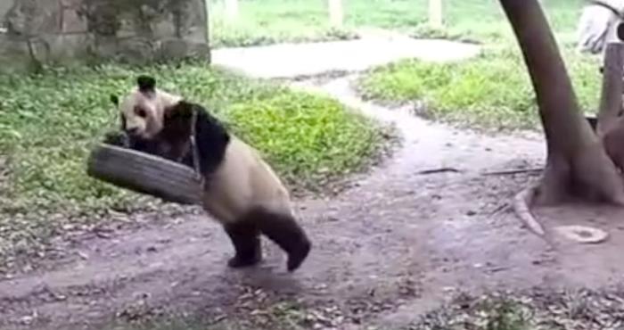 Oso panda en columpio