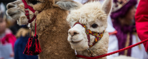 29 December 2018, Baden-Wuerttemberg, Stuttgart: Alpacas from Peru accompany star singers during the opening of the 2019 Star Singing event. Star singers, also known as Epiphany singers or Star boys\'